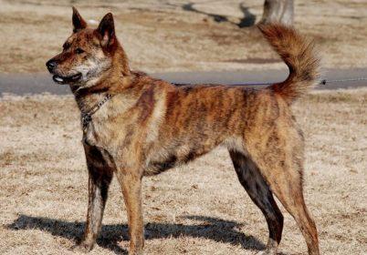 9. Kai Ken japonske plemena psov