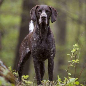 9.Nemecký krátkosrstý stavač Najobľúbenejšie plemena psov