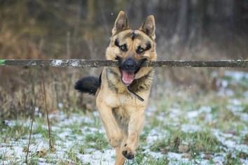 10.Německý ovčák – Najrýchlejšie psy  najrýchlejší pes