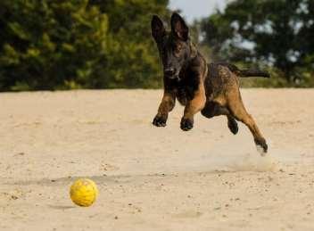 2.Malinois  Policajné psy Aký je najlepší policajný pes Plemená policajných a vojenských psov