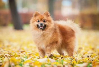3.Pomeranian Najmenší pes na svete : Top 12 najmenšie psy na svete