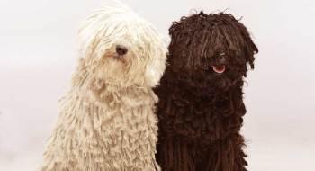 6.Puli Zaujímavé plemená psov