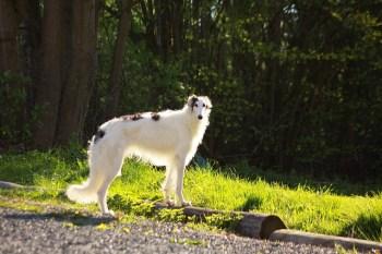 7.Barzoj – Najrýchlejšie psy  najrýchlejší pes
