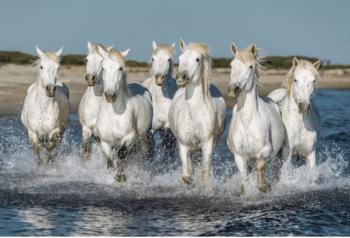 Camargské kone (Camargue horse)