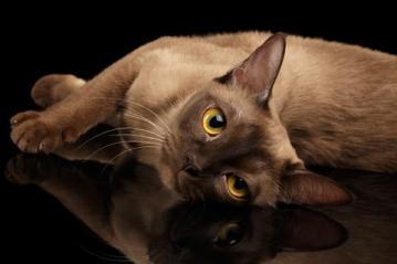 Barmská mačka Hypoalergénne mačky  Plemena mačiek