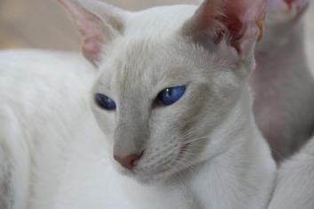 Colorpoint krátkosrstá Hypoalergénne mačky  Plemena mačiek