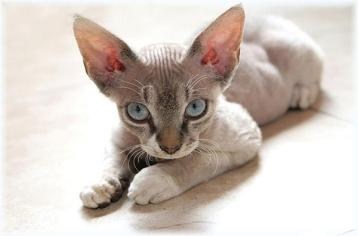 DEVON REX Hypoalergénne mačky  Plemena mačiek