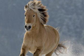 Fjordský kôň Severské - Severné plemená koní