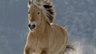 Fjordský kôň