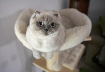 skotska Mačka do bytu