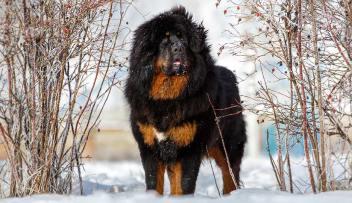1. Tibetská doga najsilnejších plemien psov na svete najsilnejšie plemena psov najsilnejšie psy