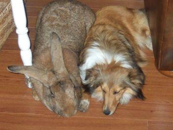 1.Belgický obor (Flemish Giant rabbit) Najväčšie plemená zajacov