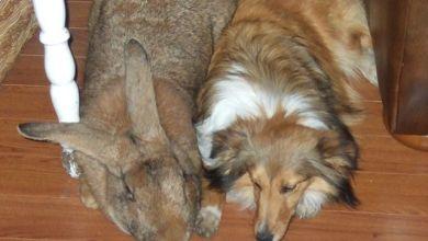 1.Belgický obor (Flemish Giant rabbit)