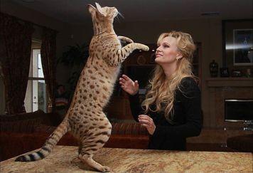 2. Savanová mačka Najväčšie mačky na svete . Pozrite si 10 najväčších plemien mačiek na svete . Tieto mačky sú skutočnš Najväčšie mačky  . Najväčšia mačka