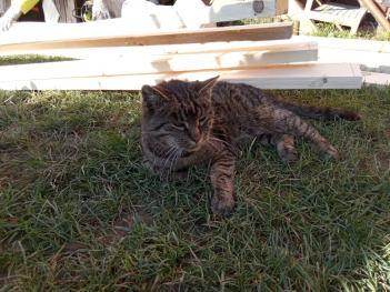 staršia mačka