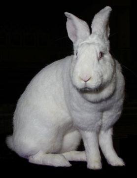 3.Blanc de Bouscat Najväčšie plemená zajacov Top 10 najväčších zajacov