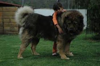 5. Kaukazský ovčiak najsilnejších plemien psov na svete najsilnejšie plemena psov najsilnejšie psy