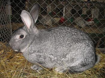 5.Činčila králiky Najväčšie plemená zajacov Top 10 najväčších zajacov