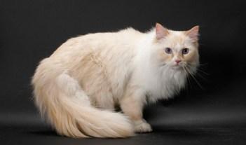 6. Ragamuffin Najväčšie mačky na svete . Pozrite si 10 najväčších plemien mačiek na svete . Tieto mačky sú skutočnš Najväčšie mačky  . Najväčšia mačka