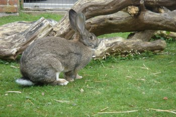 7.British Giant Najväčšie plemená zajacov Top 10 najväčších zajacov