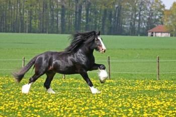 Shirský kôň najväčších plemien koní na svete najväčší