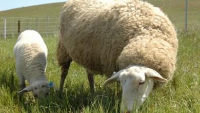 Východofrízska ovca