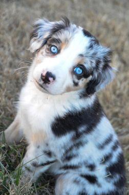 Austrálsky ovčiak s modrými očami
