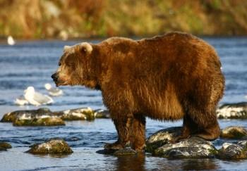Medved-kodiak najväčších druhov medveďov na svete