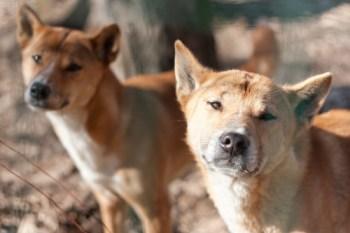 Novoguinejský dingo najvzácnejších plemien psov na svete