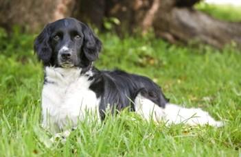 Stabyhoun najvzácnejších plemien psov na svete