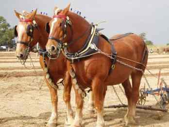 Suffolský kôň
