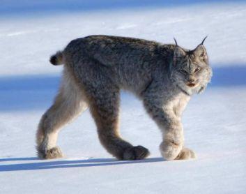 Rys kanadský najnebezpečnejších plemien mačiek