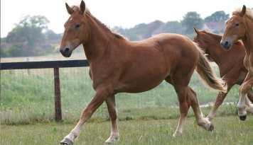 Suffolk Punch najťažších plemien koní na svete