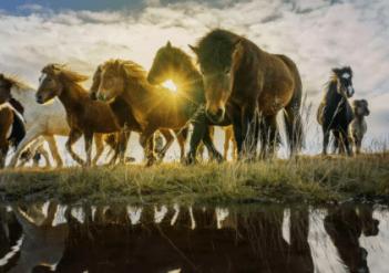 Kone sú stádové zvieratá