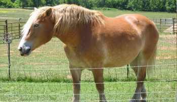 Belgický chladnokrvní najťažších plemien koní na svete