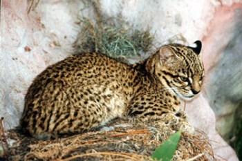 9. Mačka maloškvrnitá najnebezpečnejších plemien mačiek