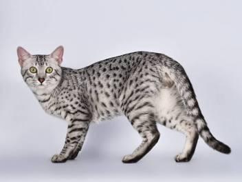 Egyptian Mau najstaršie plemená mačiek