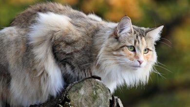 Norská lesná mačka viking