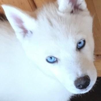 sibirsky husky s modrými očami a bielou srsťou