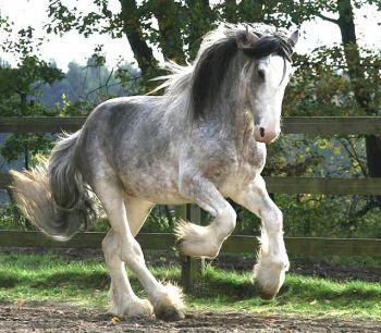 kone velkost Tabuľka výšky a hmotnosti plemien koní