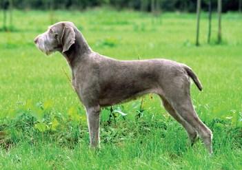 1.Slovenský hrubosrstý stavač Poľovnícky pes