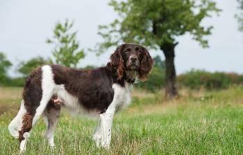 Malý münsterlandský stavač Nemecké plemená psov