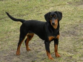 Slovenský kopov Poľovnícky pes