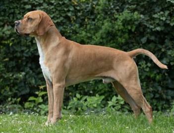 Portugalský stavač Portugalské plemená psov