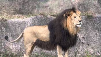 Lev berberský Vyhynuté zvieratá