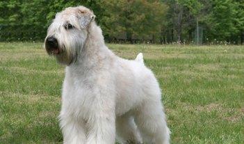 Jemnosrstý pšeničný teriér Neplznúce psy : 15 hypoalergénnych plemien psov