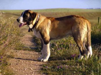 Rafeiro z Alenteja Portugalské plemená psov