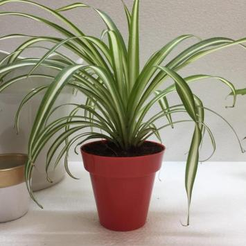 Zelenec chochlatý Rastliny do tieňa