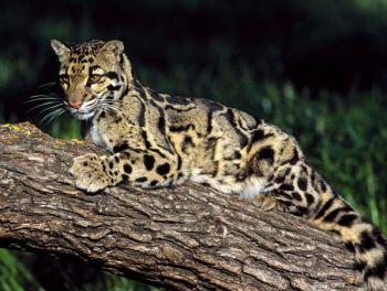Leopard obláčikový Ázia zvieratá