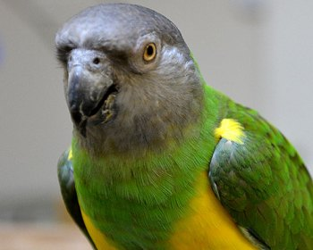 Papagáj senegalský